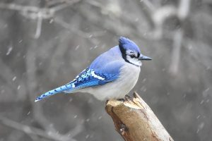 Bird Bluejay 21160972 2